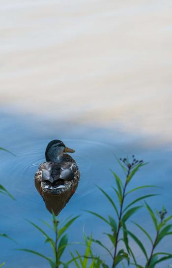 Duck - Rusty Lofgren